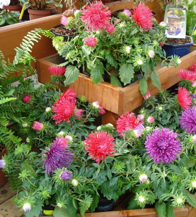 Астра агротехника выращивания 48